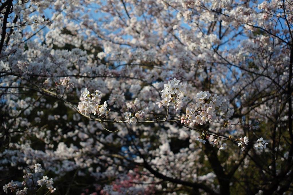桜 × Biogon 28mm F2.8