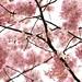 Cherry Blossoms by Mah Nava