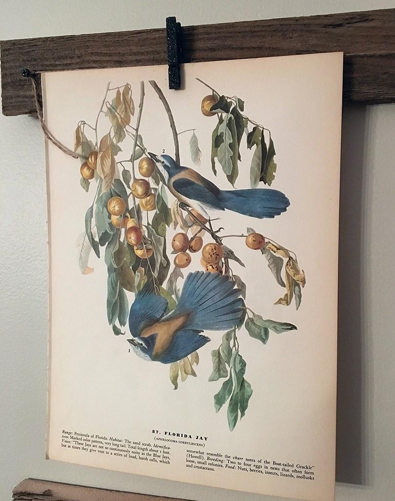 Vintage Florida Jay Print