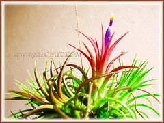Fully bloomed Tillandsia ionantha (Tilly, Air Plant, Blushing Bride, Sky Plant) seen for the first time, Dec 16 2015