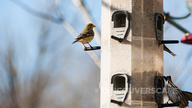 Brookside Inn/Lesser Goldfinch