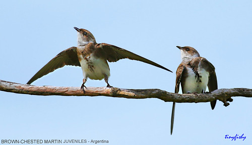(N.A.#597) Juvenile Brown-Chested Martins from Argentina