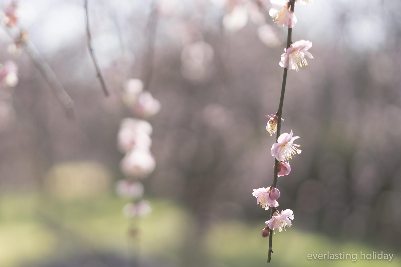 梅か桜か 2