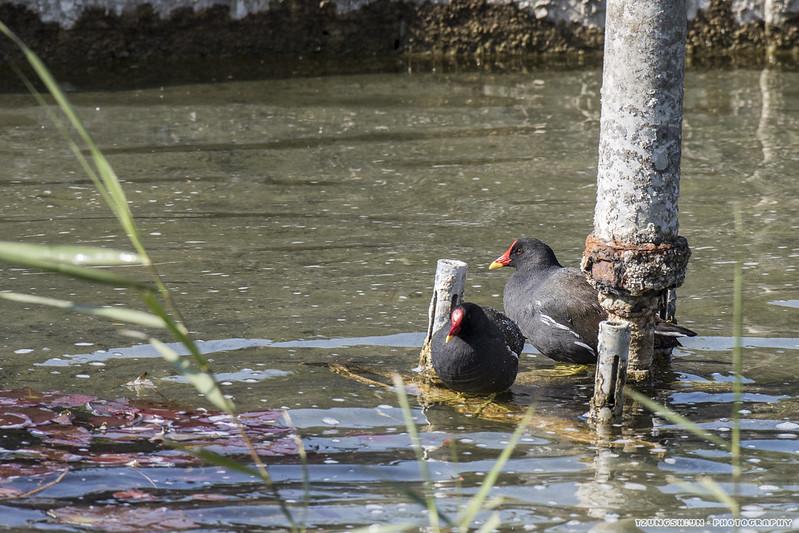 紅冠水雞 Gallinula chloropus@台南公園