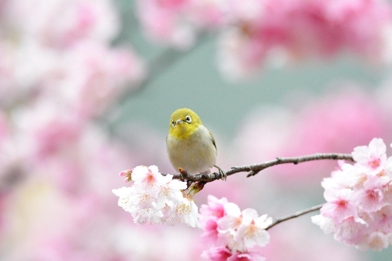 Sakura_White-eye_7831