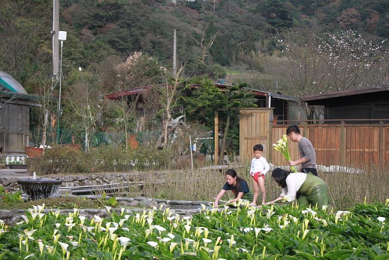 竹子湖採海芋-17度C隨拍 (51)
