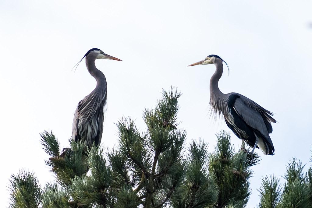 Blue Herons roosting