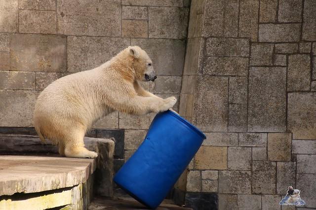 Eisbär Fiete im Zoo Rostock 20.03.2016  0228