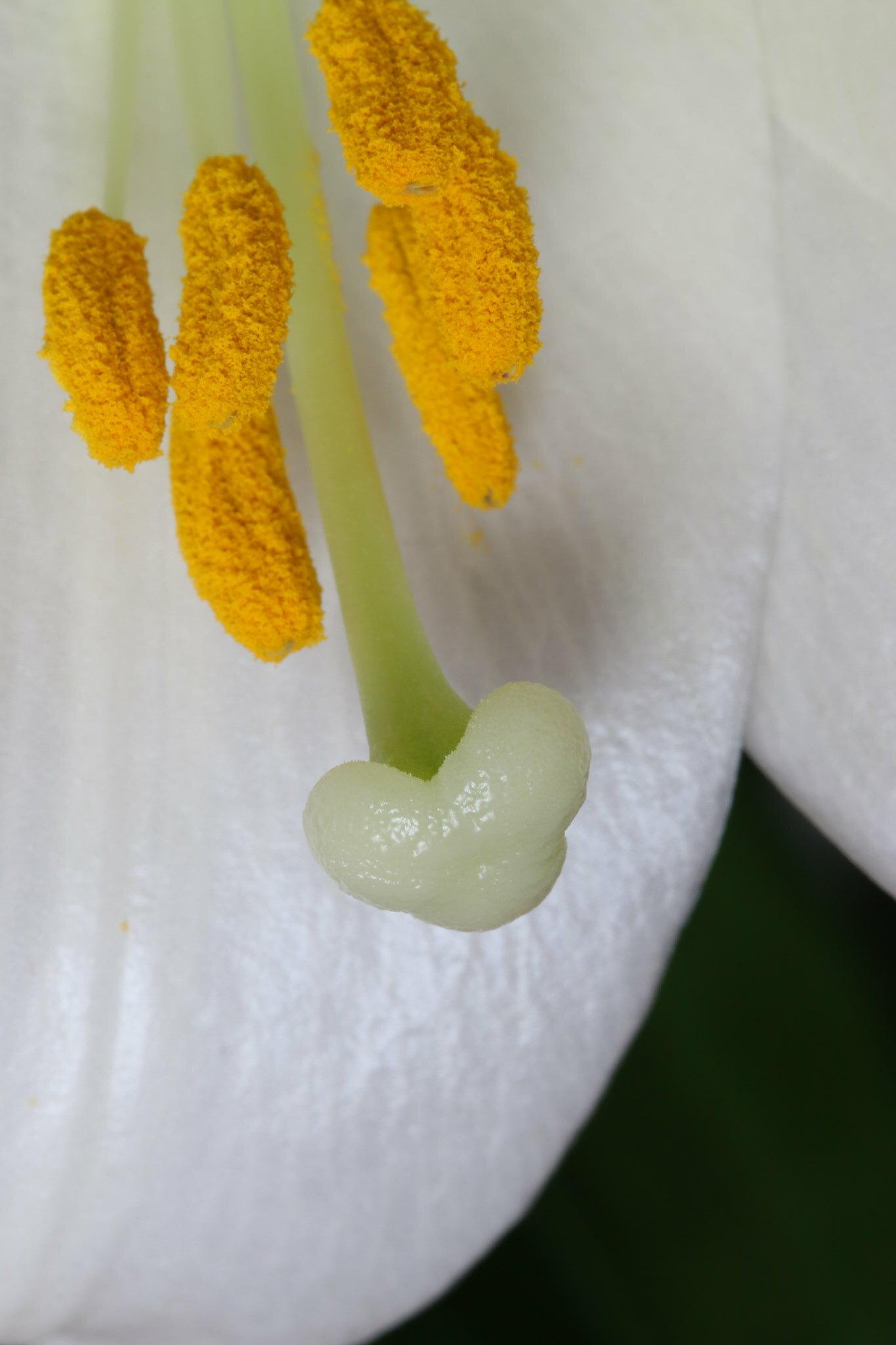 Easter Lily III (SOTC 190/365)
