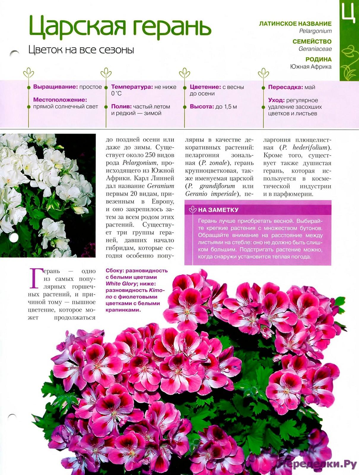Пеларгония (Герань) - Страница 2 25458594154_e70994b912_o