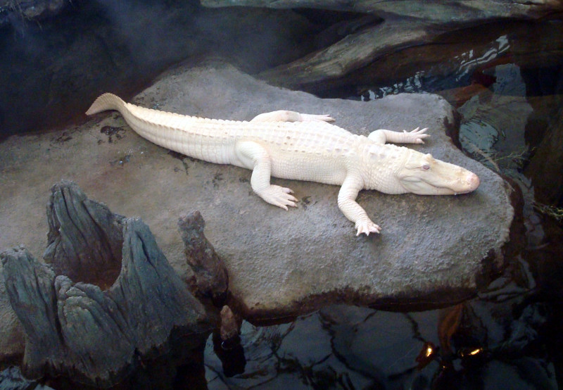 claude-albino-alligator