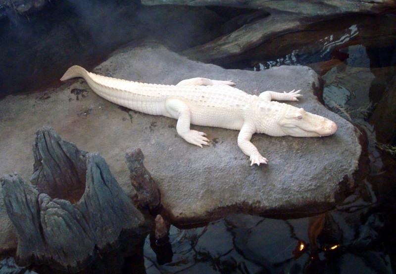 claude albino alligator california academy sciences