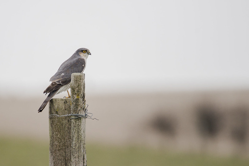 Sparrowhawk Surveying the Plain