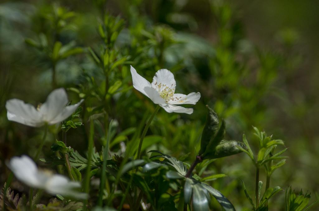 Anemone nikoensis