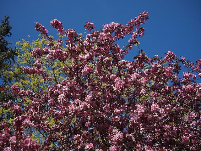 Photo:Prunus serrulata