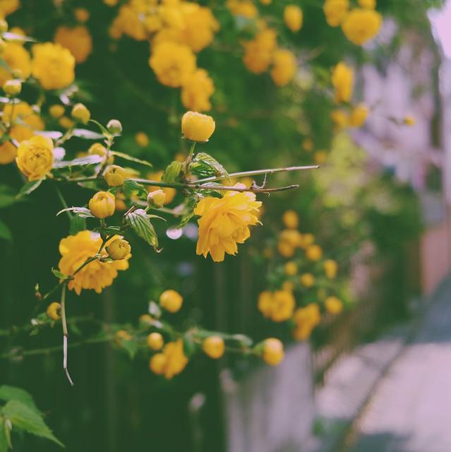 Kerria japonica (Pleniflora)