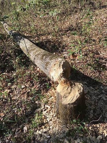 Beaver Cuttings