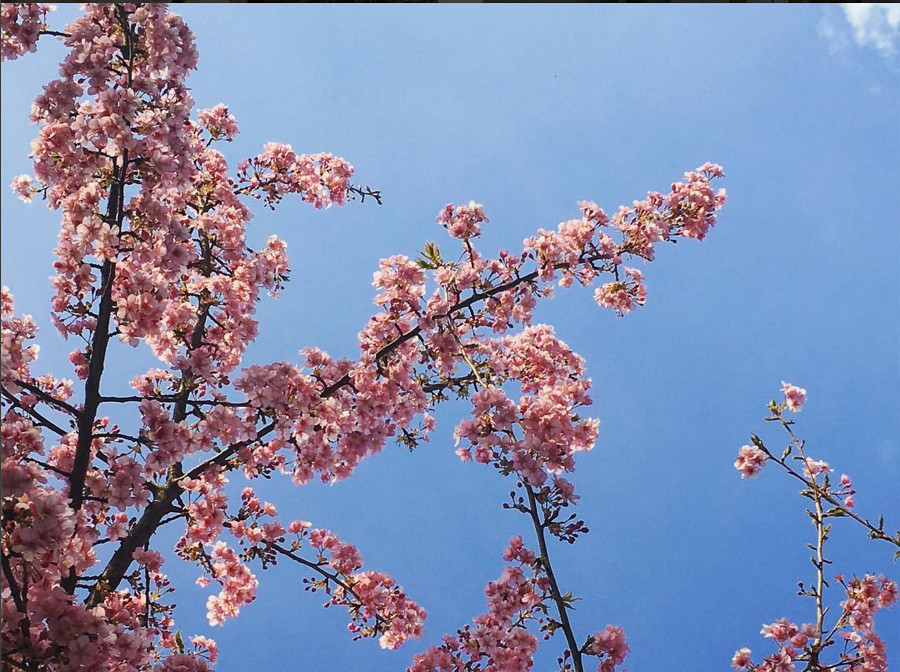 japan sakura tree flower