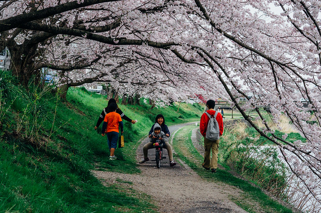 CherryBlossoms_204