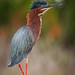 Green Heron (Butorides virescens) by Photo Patty