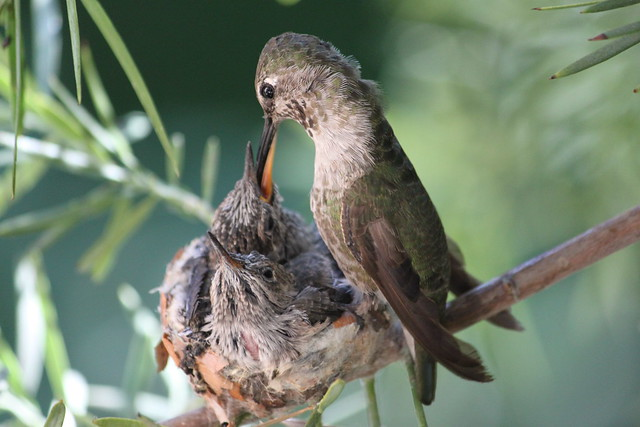 Anna's hummingbird feeding time 3.