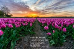 _DSC9026-Tulips in vogelenzang kikkerperspectief