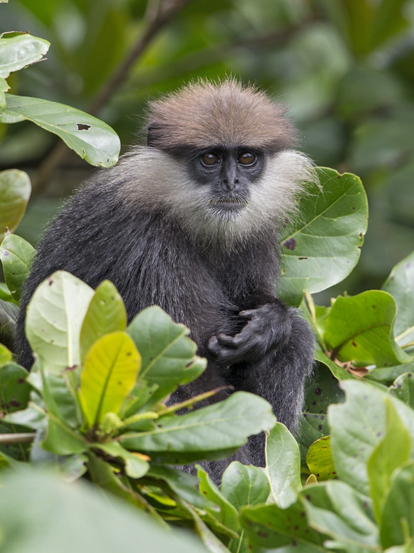 Purple-faced Langur 3