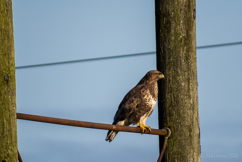 The buzzard keeps watch