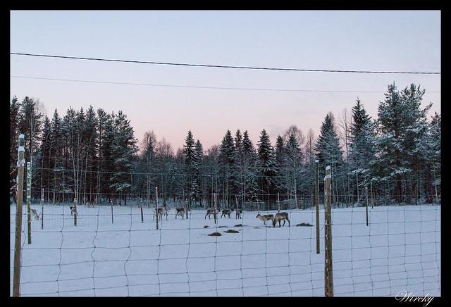 Renos en bosque de Rovaniemi
