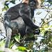 KV4A7657 Nilgiri Langur - Top Slip - Pollachi -Kerala - Indien)