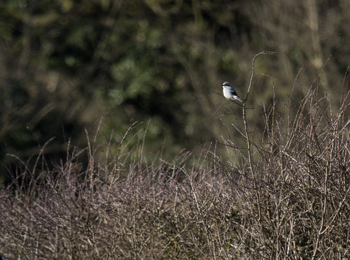 Great Grey Shrike, Poppy Hill, Langford, 18th February 2016
