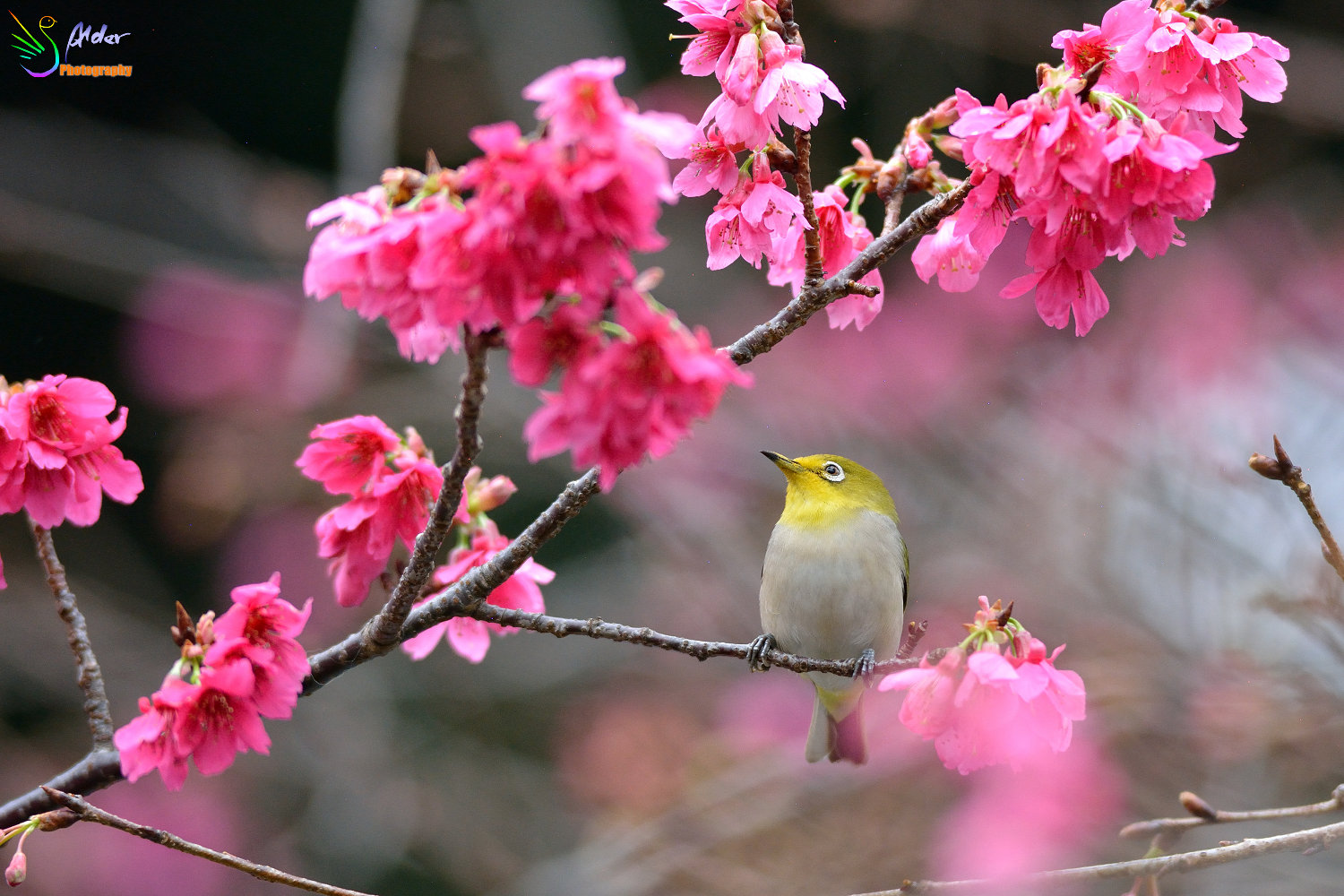 Sakura_White-eye_5927