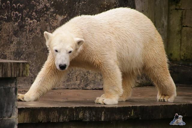 Eisbär Fiete im Zoo Rostock 12.03.2016   01