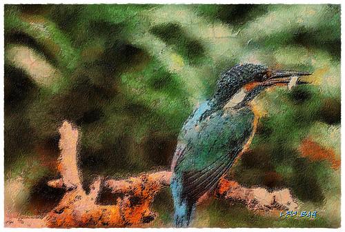 Kingfisher - Martin Pescador - Alcedines