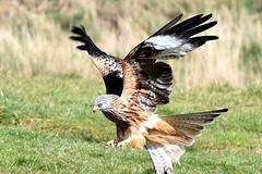 Red kite touchdown