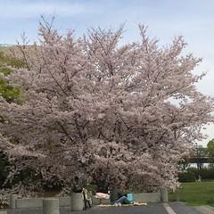 this man at naniwanomiya park had this cherry tree all to himself❤︎  #naniwanomiyapark #osaka #latergram #cherryblossom #難波宮跡公園 #大阪#桜 #latergram #nofilter