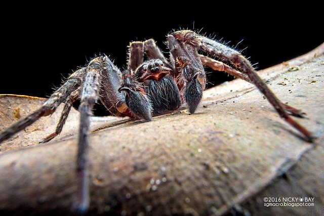 Wandering spider (Ctenus sp.) - DSC03785
