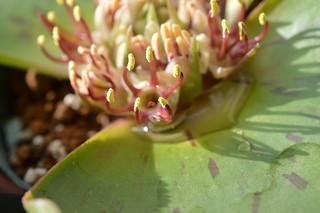 DSC_2388 Massonia latifolia マッソニア ラティフォリア