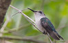 The smallest bird on Earth: Bee Hummingbird - Mellisuga helenae