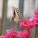 P1110864 Swallowtail Papilio machaon