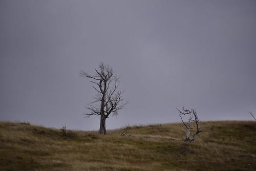 newzealand tree grass dead sheep farm dry ridge paddock tinui