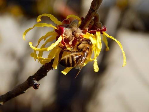 bee on witch hazel flowers, 2/28/16