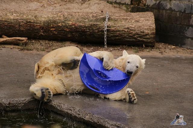 Eisbär Fiete im Zoo Rostock 13.03.2016 Teil 2  030