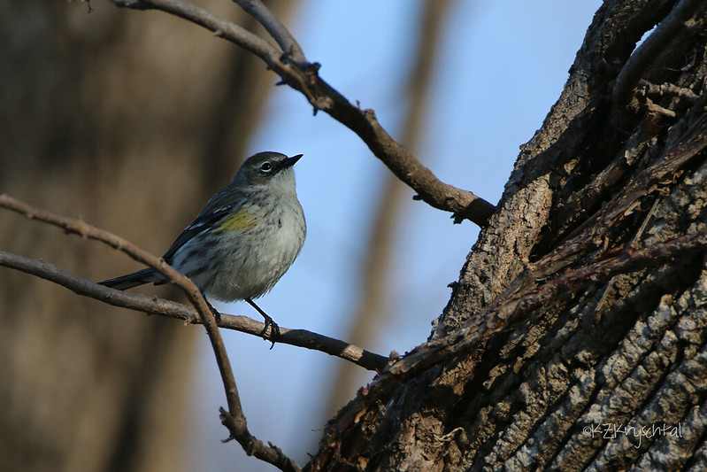 IMG_9138YellowRumpedWarbler
