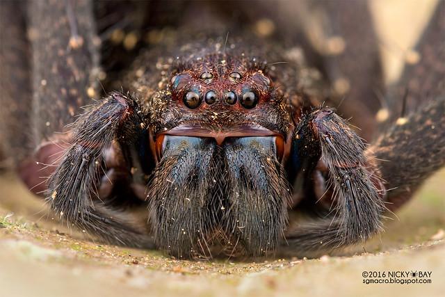 Huntsman spider (Heteropoda sp.) - DSC_5914