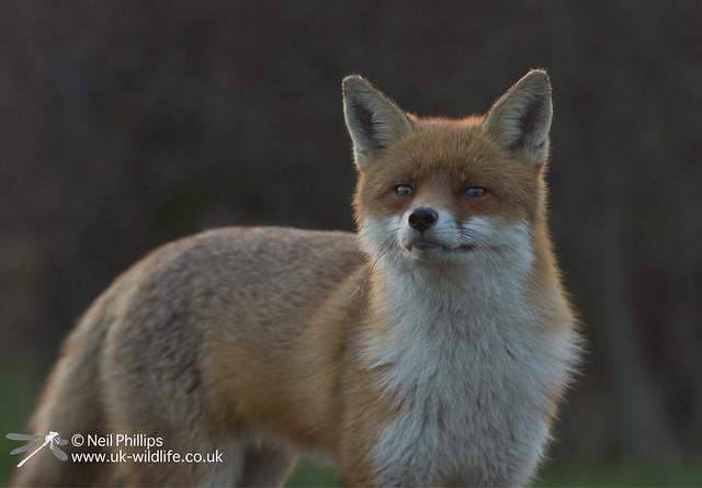 Red fox-13