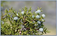 Desert Woodland Juniper