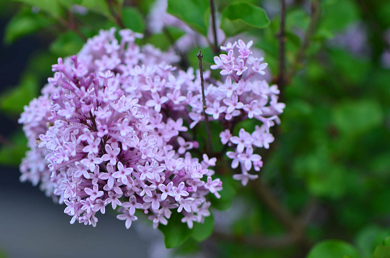 Lilac (Syringa) 'Miss Kim'