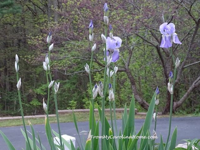Iris bed at From My Carolina Home