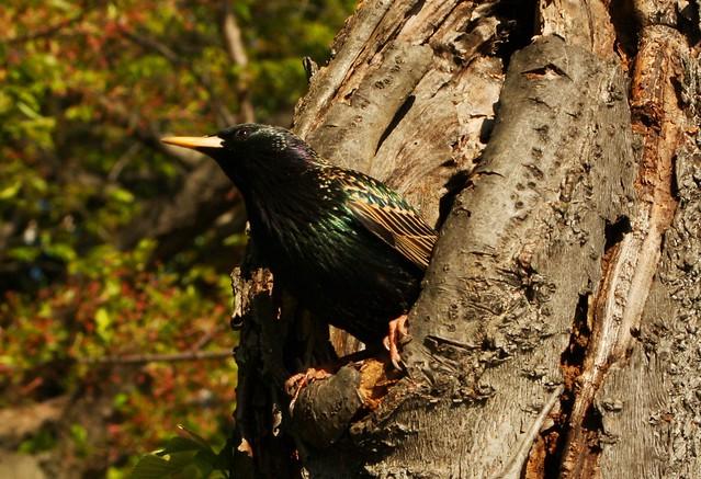 Nesting starling